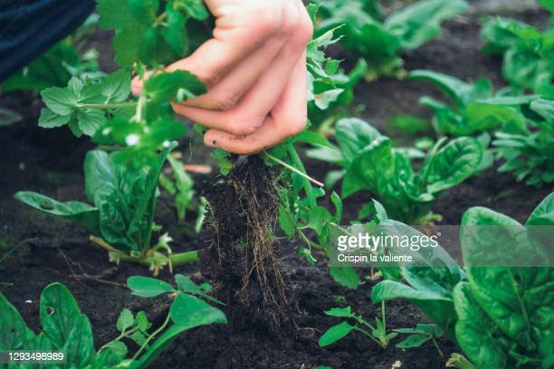 removing weeds in my organic garden - strip stock pictures, royalty-free photos & images