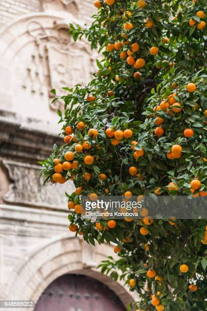 renaissance architecture and lush green foliage with orange fruit trees in the foreground. - istock stock pictures, royalty-free photos & images