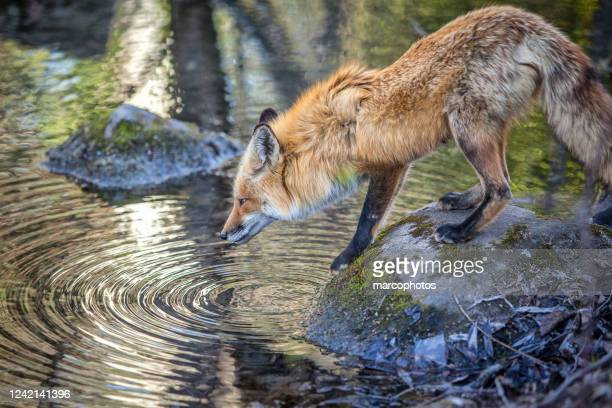 renard roux (vulpes vulpes). volpe rossa. - volpe rossa foto e immagini stock