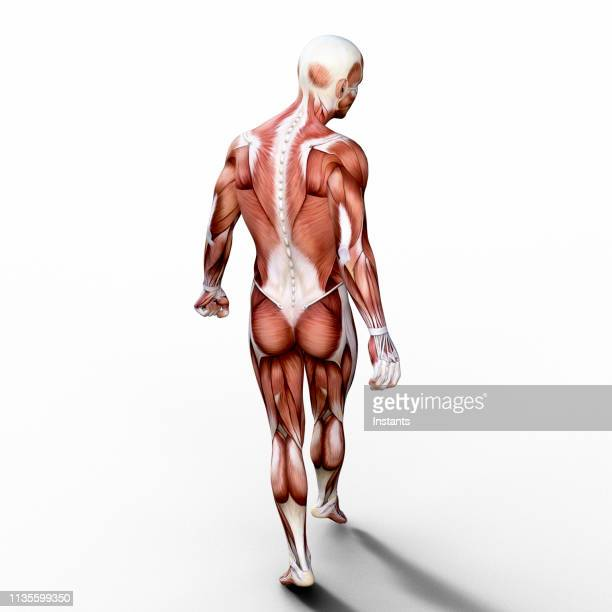 3d render depicting the anatomy of a human muscular system. - anatomy stock pictures, royalty-free photos & images