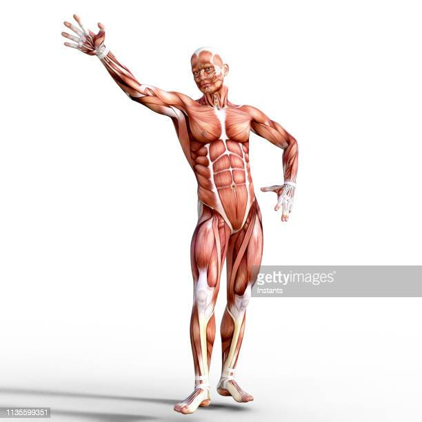 3d render depicting the anatomy of a human muscular system. - tendon stock pictures, royalty-free photos & images