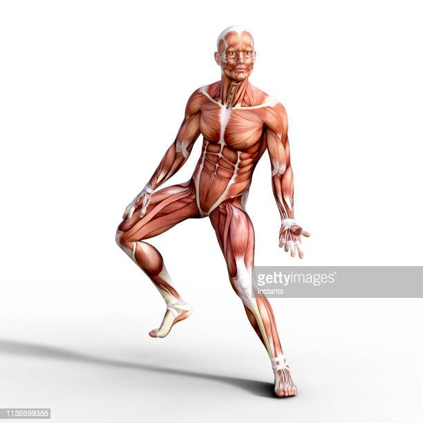 3d render depicting the anatomy of a human muscular system. - limb body part stock pictures, royalty-free photos & images