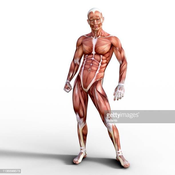 人間の筋肉系の解剖学を描いた3d レンダリング。 - 靭帯 ストックフォトと画像