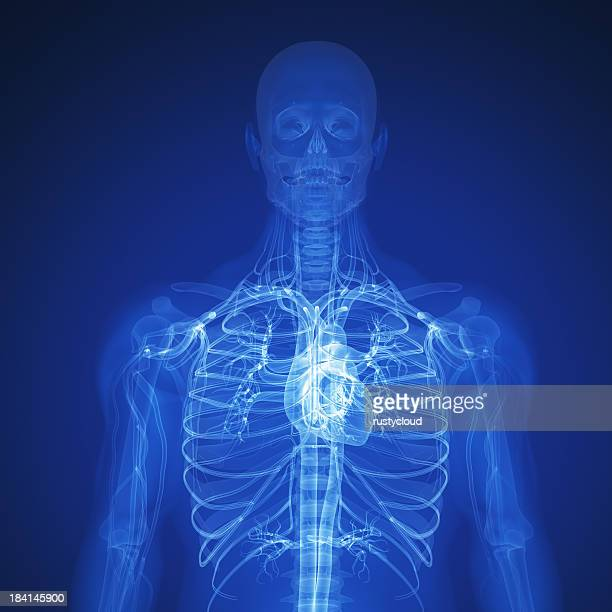 rendered x-ray of the top half of a human skeleton and heart - human heart stock pictures, royalty-free photos & images
