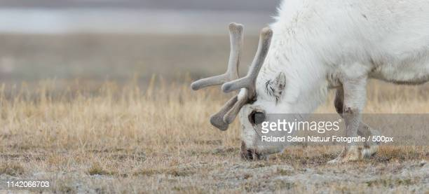 Rendier - Reindeer