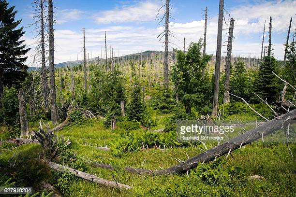 Renewing forest in the Bavarian Forest National Park