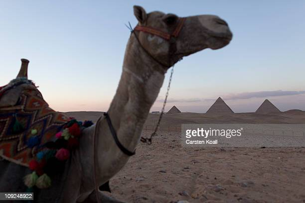 AA rented camel carries visitors through the desert near the Giza pyramids on Feburary 16 2011 in Giza Egypt With tourism counting for 6 percent of...