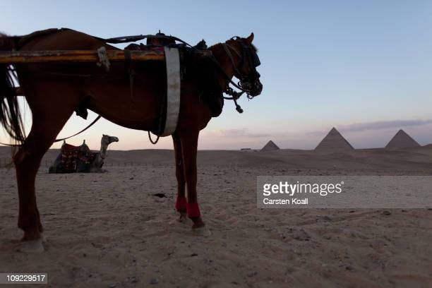 A rented camel sits behind a horse to carry visitors through the desert near the Giza pyramids on February 16 2011 in Giza Egypt With tourism...