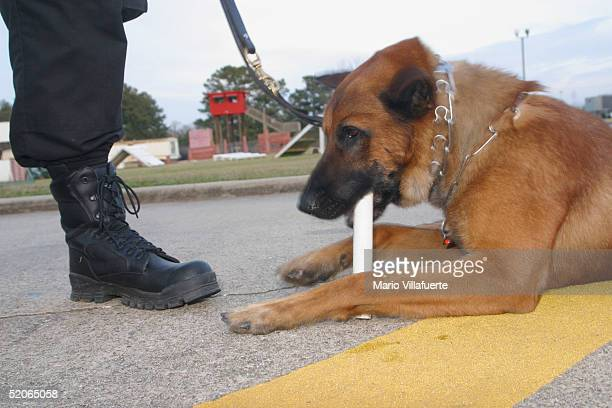 Renzo a Belgian Malinois used by the Shreveport Louisiana Police Dept for drug searches of vehicles chews on a plastic pipe scented with a cocaine...