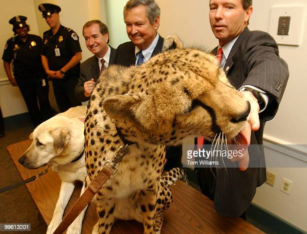 Rep Tom Udall DNM gets his hand licked by 'Sahara' an African Cheetah as Reps Ed Royce RCalif left and Clay Shaw RFla look on during a news...
