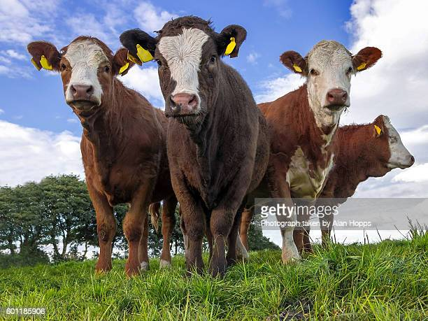 replacement beef heifers - livestock stock pictures, royalty-free photos & images