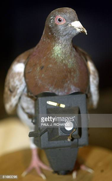 A replica of Cher Ami the US Signal Corps photo pigeon that was awarded the 'Croix de Guerre' by the French government in WWI for heroic service...
