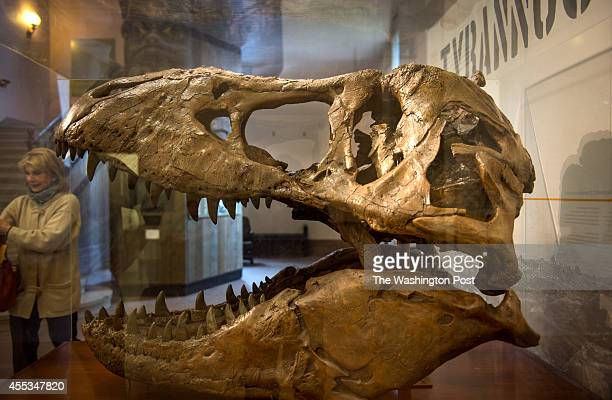 A replica of the skull of Tyrannosaurus rex Osborn from the Cretaceous is displayed at the Smithsonian Institute National Museum of Natural History...