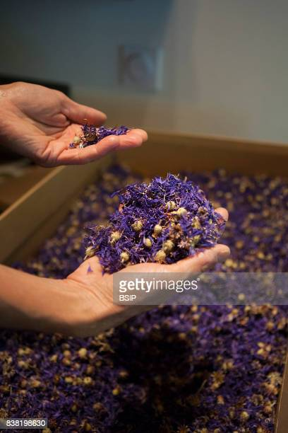 Reportage Bauges mountains Savoie France Organic and Medicinal Plant Production Cornflower is good for relieving conjunctivitis and tired eyes It is...