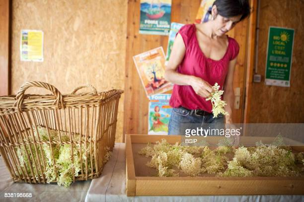 Reportage Bauges mountains Savoie France Organic and Medicinal Plant Production The herbalist puts the collected plants in dehumidifier to extract...
