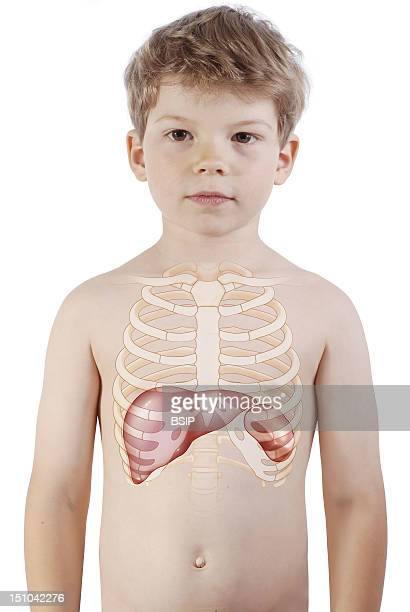 Anatomy Liver Location Stock Photos And Pictures Getty Images