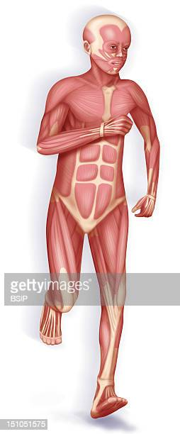 Representation Of The Musculature In A Child Running