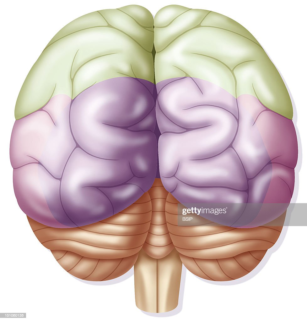 temporal lobe stock photos and pictures getty images