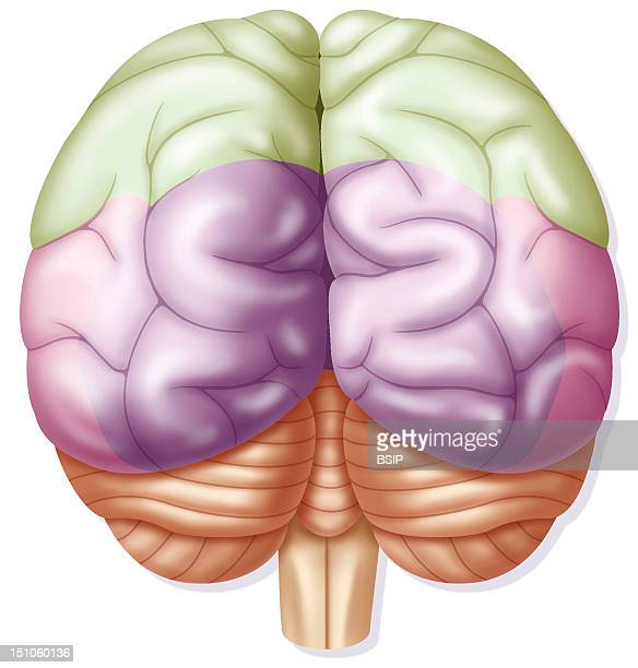 Representation Of The Posterior View Of The Brain Highlighted Occipital Lobes In Purple Parietal Lobes In Green Temporal Lobes In Pink The Posterior...