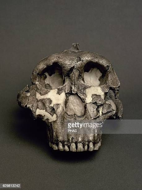 Reproduction of a Cranium of Paranthropus boisei, named Dear Boy. 1,8 million years. From Olduvai Gorge, Tanzania. National Archaeological Museum....