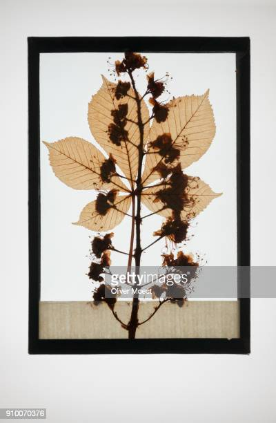 Reproduction of European horse-chestnut plant specimen
