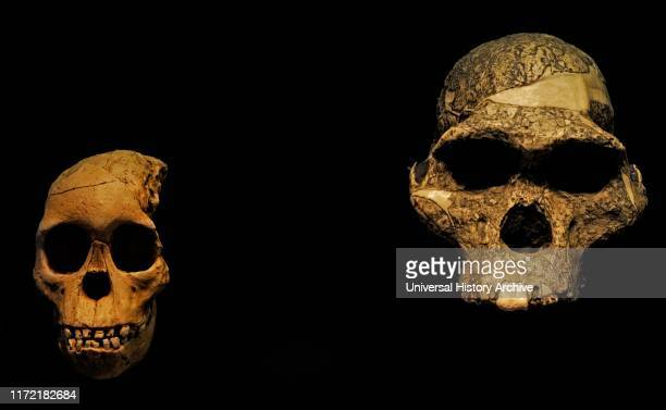Reproduction of two Australopithecus africanus skulls. On the left, Taung Child. From Taung, Botswana; On the right, Mrs. Ples. Found in...