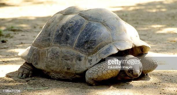 Reptile, Aldabra Tortoise.