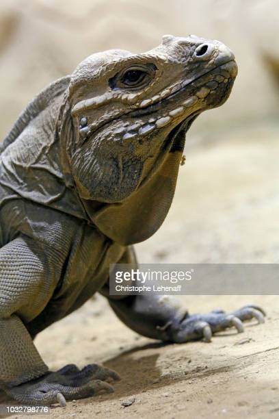 reptile. close-up on an iguana rhinoceros (cyclura cornuta). - land iguana imagens e fotografias de stock