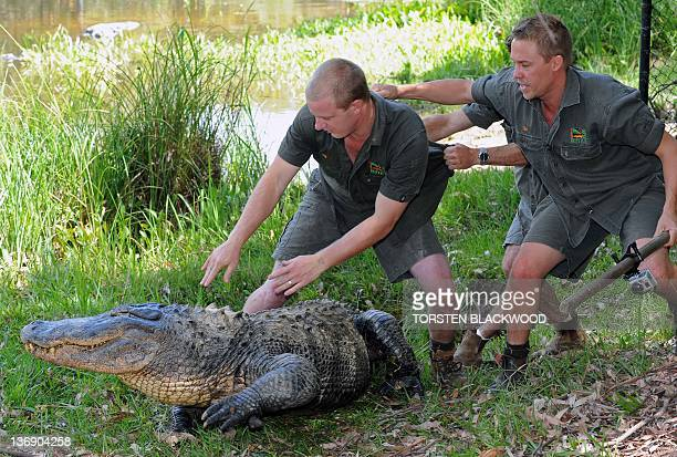 Reptile keeper Brad Gabriel releases American alligator 'Mr Skinny' after alligator eggs were collected from a nearby nest at the Australian Reptile...