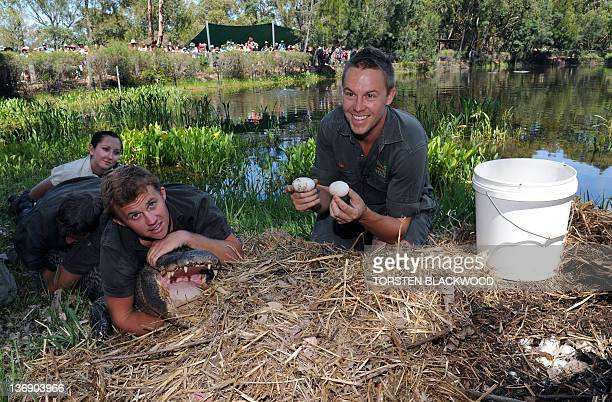 Reptile keeper Tim Faulkner collects American alligator eggs as Billy Collett John Mostyn and Karla Pound try to control 'Big Mumma' at the...