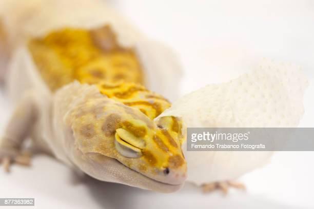 reptile moving his skin