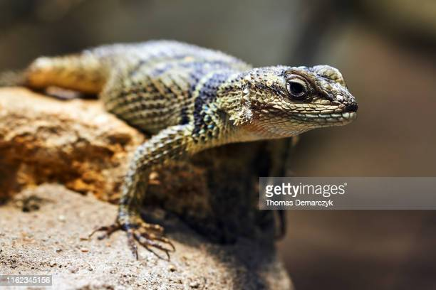 reptile - reptile stock pictures, royalty-free photos & images