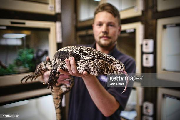 Reptile Rescue Coordinator Tom Bunsell handles an Argentine black and white tegu at the Royal Society for the Prevention of Cruelty to Animals...