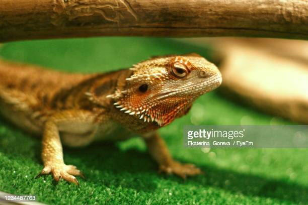 reptile show exposure expo exhibition - bearded dragon stock pictures, royalty-free photos & images