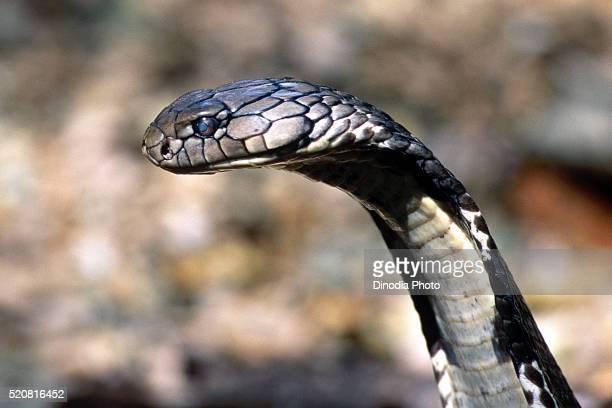 Reptiles, King cobra ophiophagus hannah longest venomous snake-eater, Karnataka, India