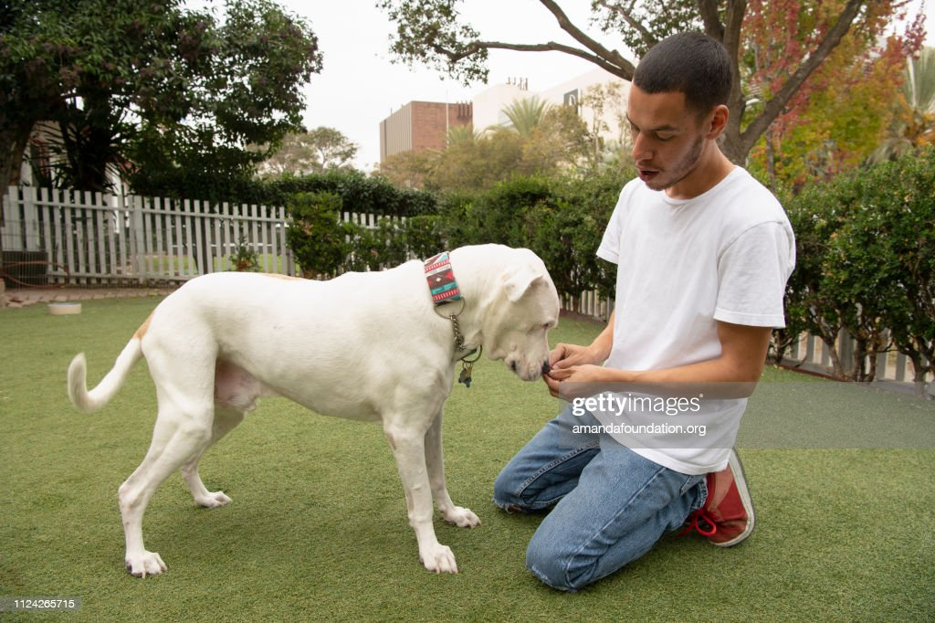 Rescue Animal - affectionate white and tan American Bulldog mix with a man : Stock Photo