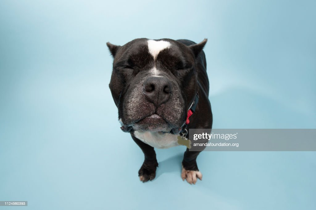 Rescue Animal - black and white PitBull/Bulldog mix : Stock Photo