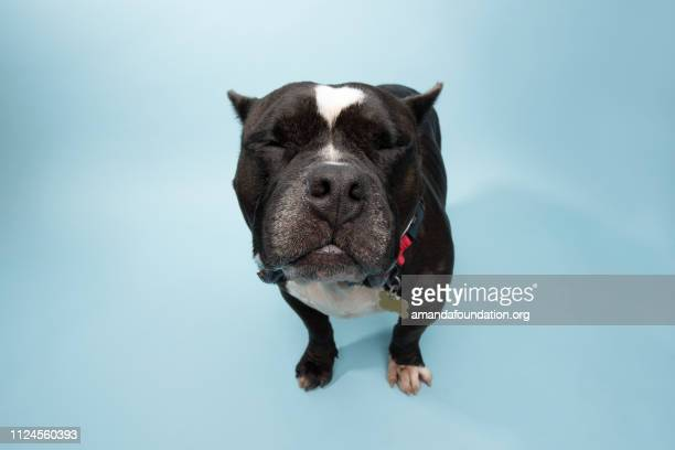 rescue animal - black and white pitbull/bulldog mix - amandafoundationcollection stock pictures, royalty-free photos & images