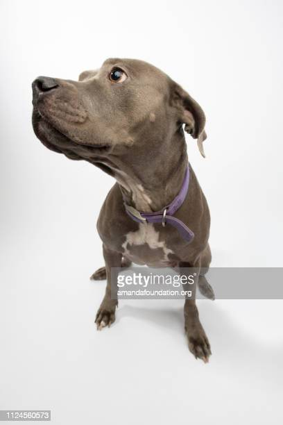 Rescue Animal - blue Pitbull mix