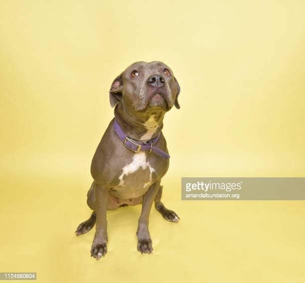 rescue animal - blue pitbull mix - amandafoundationcollection stock pictures, royalty-free photos & images