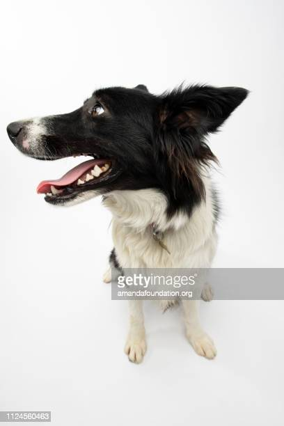 Rescate Animal - Border Collie