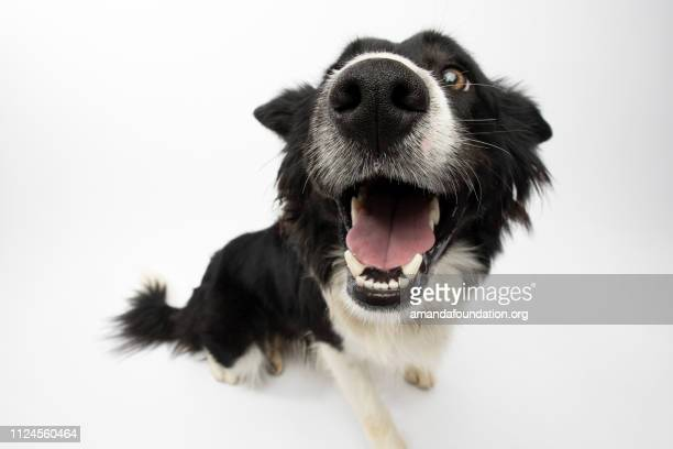 rescue animal - border collie - amandafoundationcollection stock pictures, royalty-free photos & images