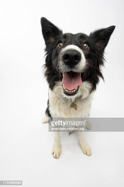 rescue animal - border collie - suplicar imagens e fotografias de stock