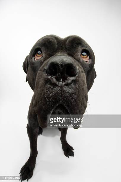 rescue animal - brindle mastiff mix - begging social issue imagens e fotografias de stock