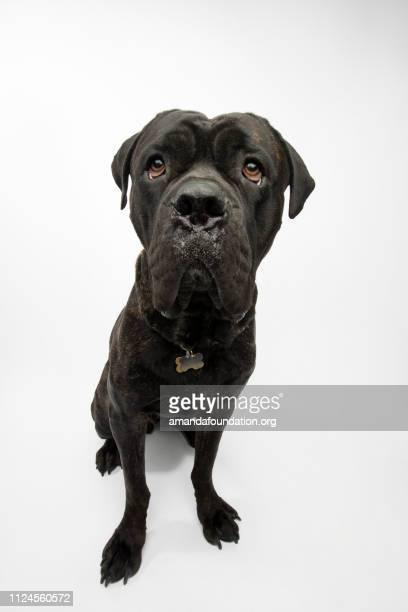 Rescue Animal - brindle Mastiff mix
