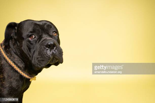 rescue animal - brindle mastiff mix - amandafoundationcollection stock pictures, royalty-free photos & images