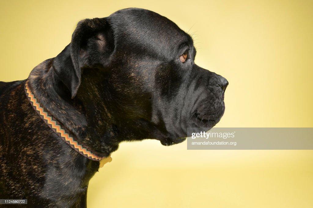 Rescue Animal - brindle Mastiff mix : Stock Photo