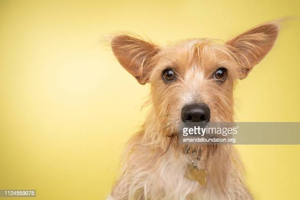 rescue animal - cairn terrier/corgi mix - amandafoundationcollection stock pictures, royalty-free photos & images