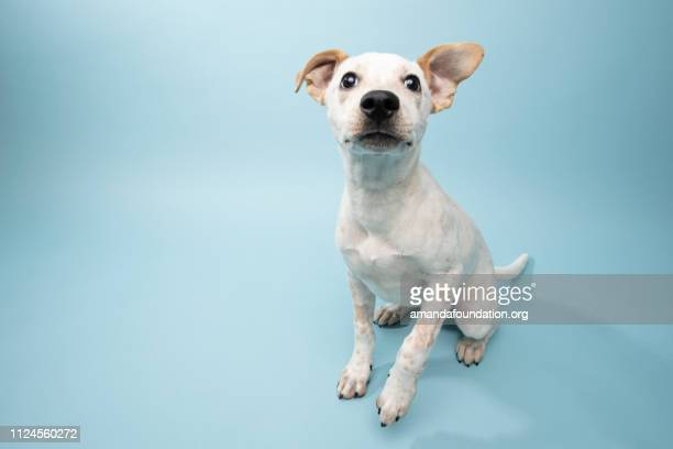 rescue animal - cattle dog mix puppy - amandafoundationcollection stock pictures, royalty-free photos & images