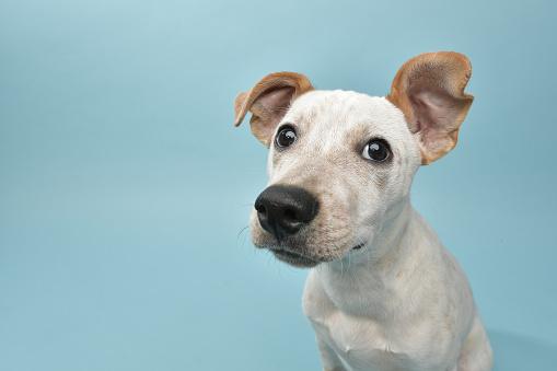 Rescue Animal - Cattle Dog mix puppy 1124560275